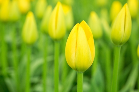 Yellow triumph tulipa flowers in a garden, closeup image Stock Photo - 21231579