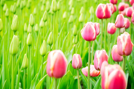 Field of blooming pink and white tulips next to green saplings Stock Photo - 21231581