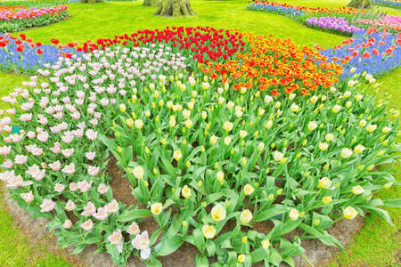 nicely: Nicely arranged blooming colorful tulips at an ourdoor park in the Netherlands  Stock Photo