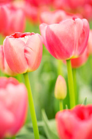 Flowerbed of blooming pink tulips, closeup image. Stock Photo - 21231627