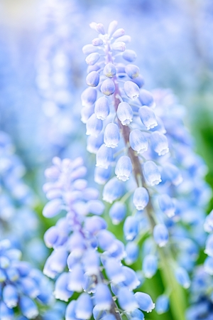 Closeup image of a blooming purple hyacinthus orientalis flower, also known as Muscari. Stock Photo - 21231637