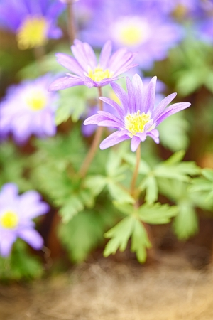 Anemone blanda - blue shades, blooming  Macro photograph Stock Photo - 21231639