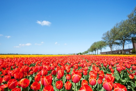 A large field with blooming red tulips and blue sky in the Netherlands  photo