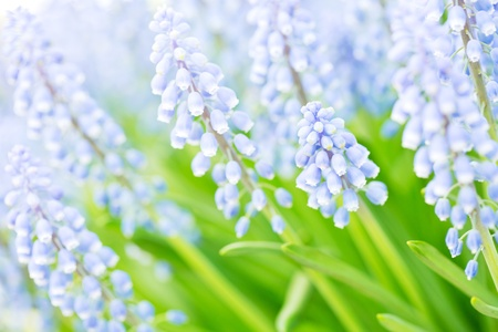 Closeup image of a blooming purple hyacinthus orientalis flower, also known as Muscari. Stock Photo - 21231610