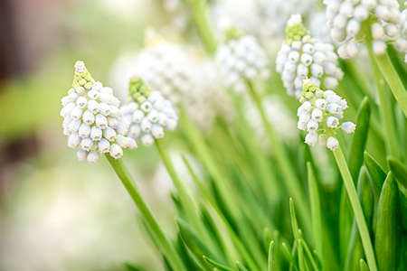 Closeup image of a white Muscari flower, known as Ocean Magic. Stock Photo - 21231611