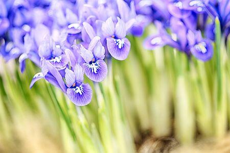 reticulata iris: Macro image of blooming purple iris reticulata Harmony flowers.