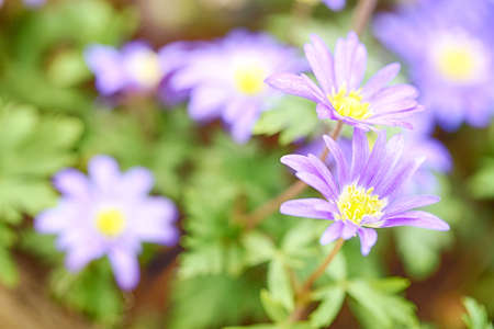 Anemone blanda - blue shades, blooming. Macro photograph. Stock Photo - 21231613