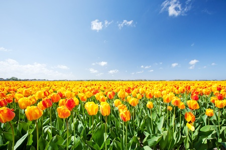 Typical Dutch field with yellow and red tulips and blue sky in the Netherlands. photo