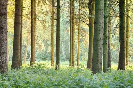 sun lit: A forest with tall trees and a green floor, back lit by the afternoon sun.