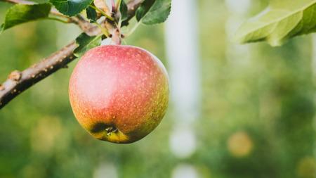 Una manzana roja que crece en una rama en un huerto de manzanas. Imagen del primer con copia espacio. Foto de archivo