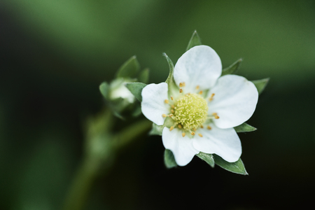 Closeup photo of a flowering strawberry plant.