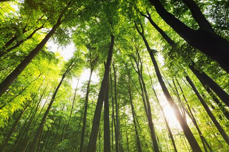 Tall trees in a dense green forest raising to the sky and sunbeams shining through the branches. Stockfoto