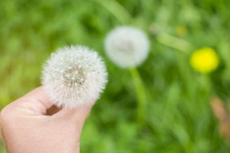 Soft focus Top view of woman holding seed of dandelion