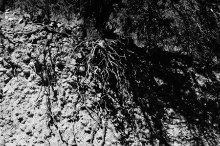 b w: Exposed tree roots on cliff Stock Photo