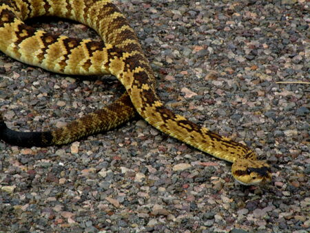 malevolent:  65 WesternDiamondbackRattlesnake Crotalus atrox, the western diamondback venomous rattlesnake   A member of the family Viperidae, the subfamily Crotalinae, and the genus Crotalus,