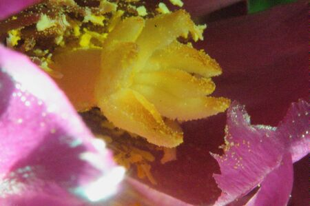 anthers: 245 Cactus Flower Buckhorn