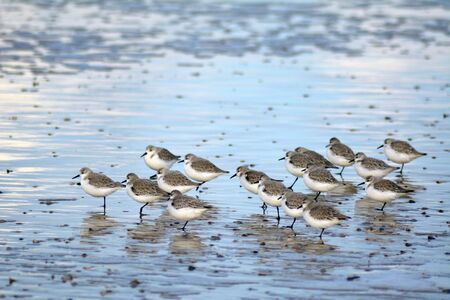 Sand pipers in winter at isle Texel, the Netherlands. Europe Stock Photo - 92561456