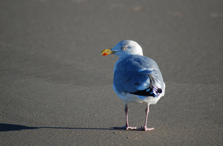 Sea gull in winter at isle Texel, the Netherlands. Europe Stockfoto