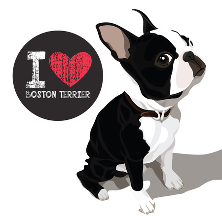 vector closeup portrait of the domestic dog Boston Terrier breed Illustration