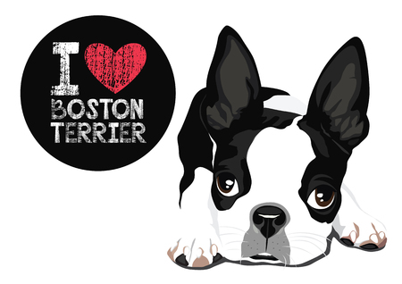 Vector closeup portrait of a Boston Terrier