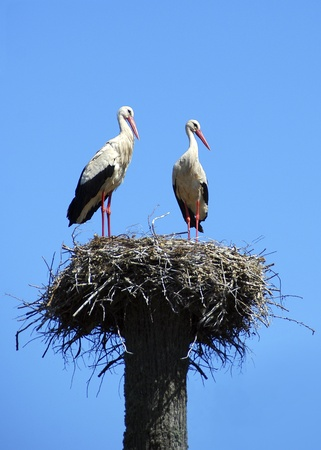 planos electricos: Dos cig�e�as blancas en el nido en el cielo azul. El s�mbolo de la primavera para venir, s�mbolo de la nueva vida.