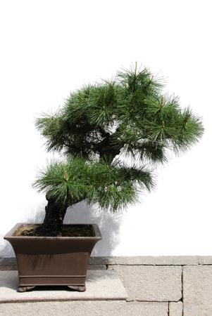 Bonsai tree isolated on a white background photo
