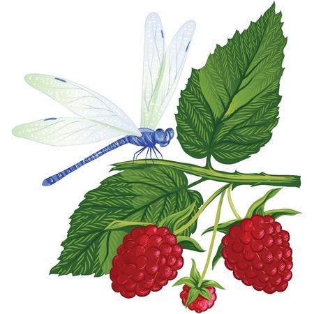 raspberries: dragonfly sitting on the raspberries.