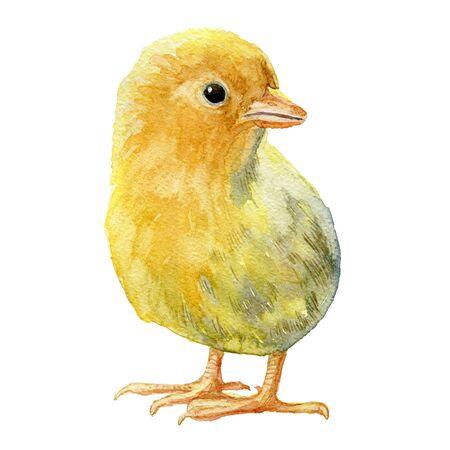 Yellow chicken on white background