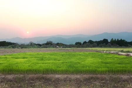 viewfinderchallenge3: Rice farm on Sunset Stock Photo