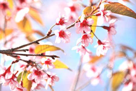 flor de sakura: Flor de Sakura
