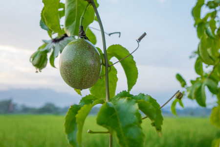 green passion fruit tree plant