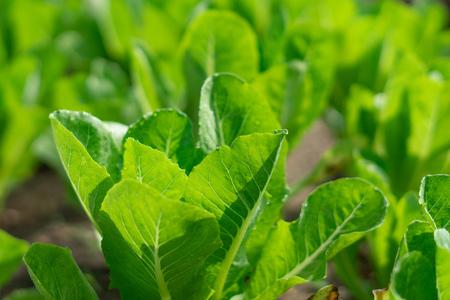 Salad Garden vegetables on farm
