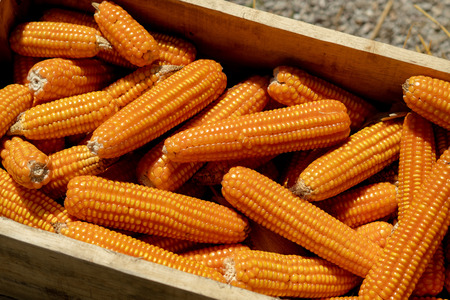 Close up Corn in a wooden box