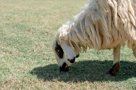 Sheep graze eating grass ,sheep on green field