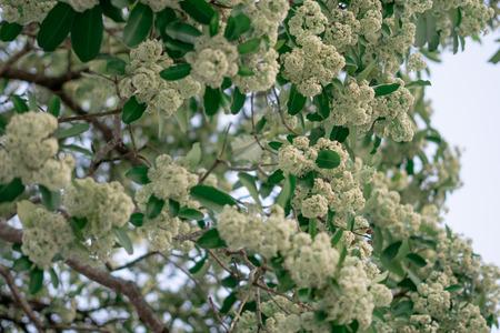Alstonia scholaris flower plant