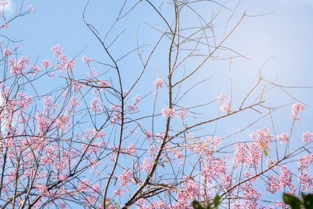 Pink blossom sakura or cherry flowers with blue sky spring season
