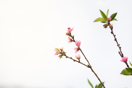 Plum flower with isolate white sky.