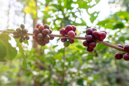 Coffee cherry fruits in the garden spring season