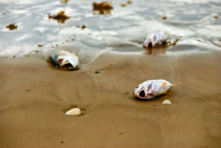 Three fish, one focus in foreground and two out of focus in background, are washed ashore with mouth wide open on a sandy beach during a red tide. Banco de Imagens
