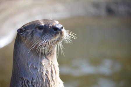 otter: British Otter