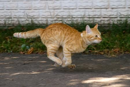 dog running: Red cat running down the street