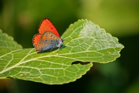 broad leaf: Colored butterfly on a broad leaf of horseradish Stock Photo