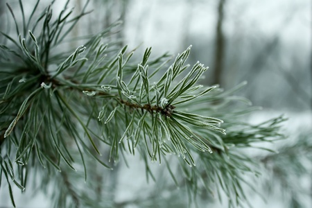 Pine needles in hoarfrost close-up shot Stock Photo