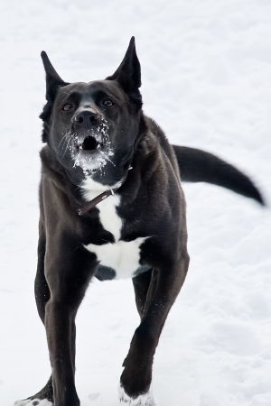 Angry black dog running fast and barking photo