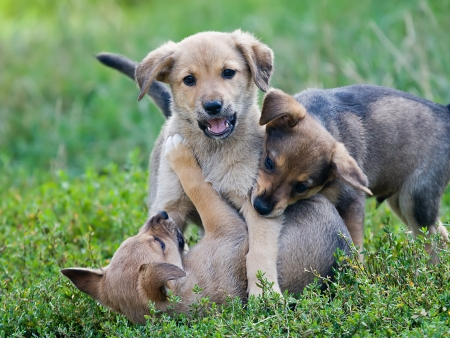 Three young puppies playing on the grass photo