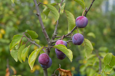 Ripe plums on the branch photo