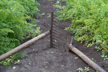 Shovel and rake lie between the vegetable beds photo