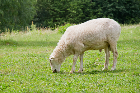 munch: White hornless ram grazing in the meadow Stock Photo