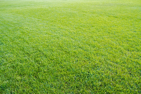 Green lawn with cropped grass. Background pattern.