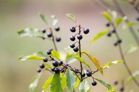 Frangula alnus, commonly known as the alder buckthorn, glossy buckthorn, or breaking buckthorn in natural environment.